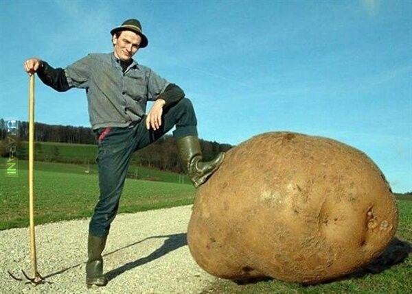 ziemniak gigant
