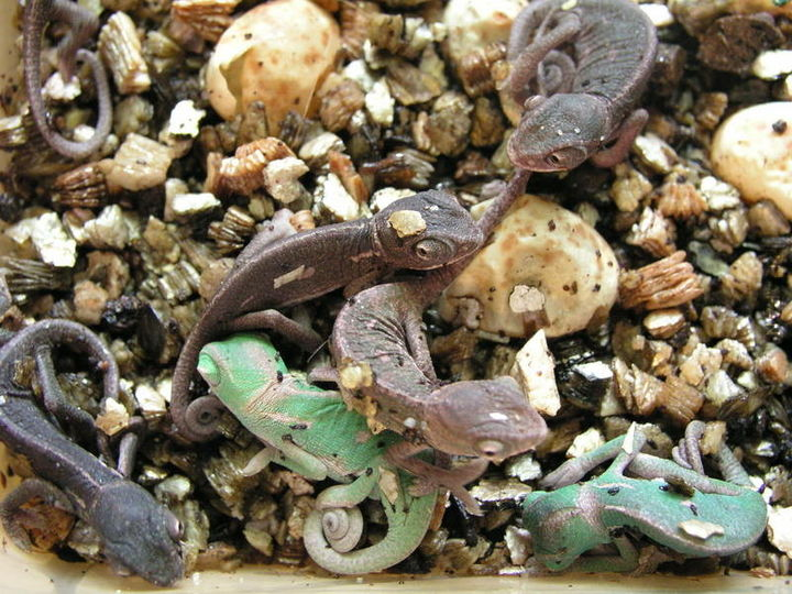 Kameleony jemeńskie wylęg 04.2007