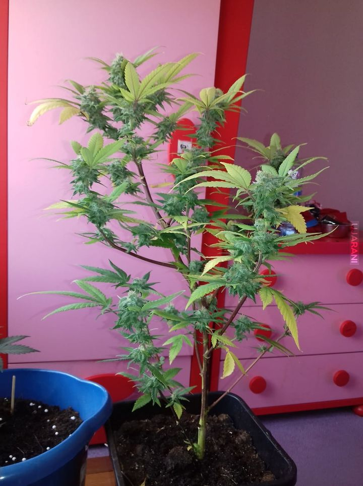 Drugi własny plant