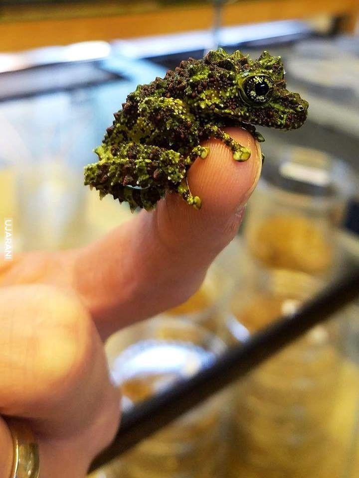Wietnamska żaba omszona