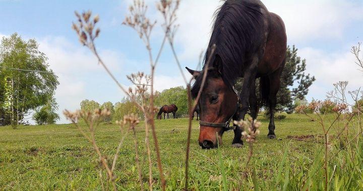 koń szamiący trawę