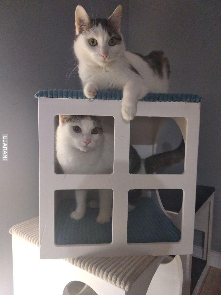 Miau-Miau