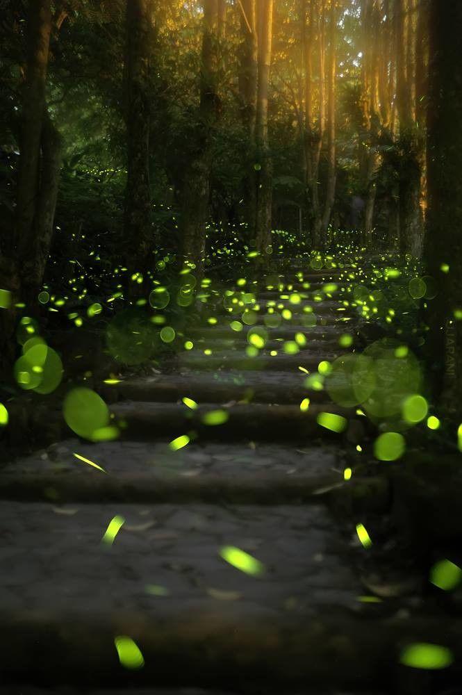 Fireflies in Japan.