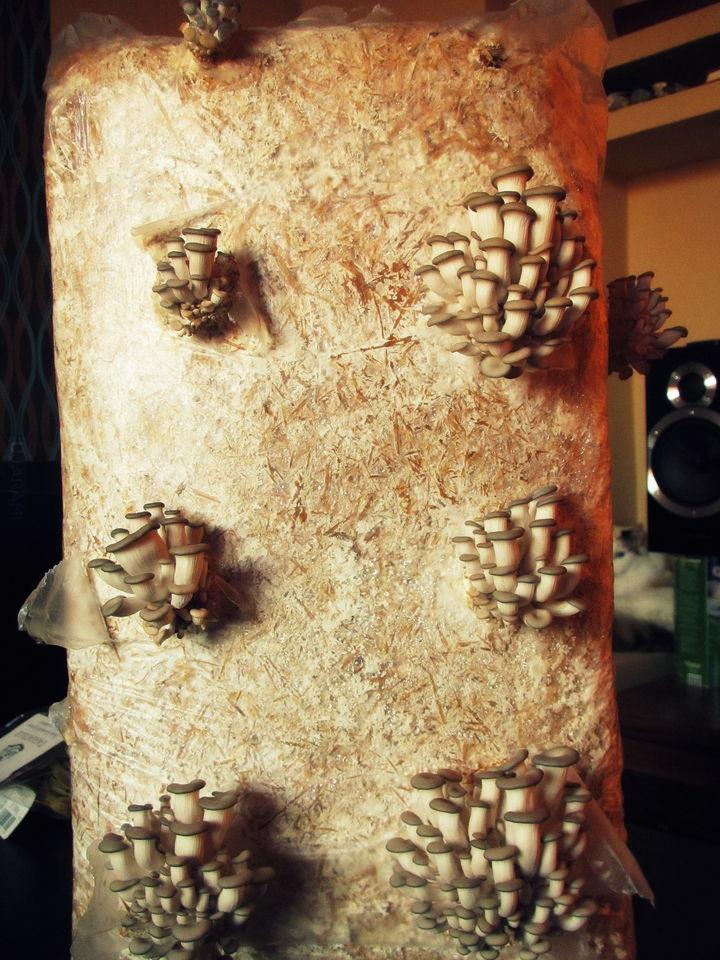domowa uprawa boczniaka ostrygowatego