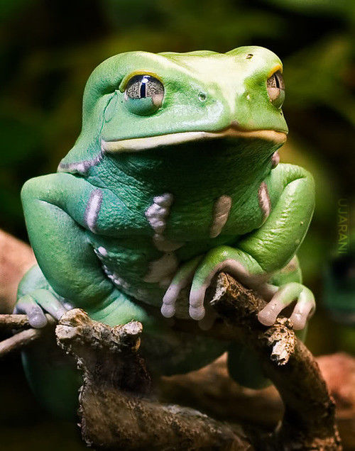 waxy monkey tree frog