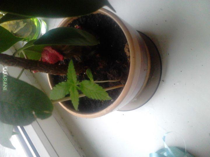 Mała siostrzyczka mojego kwiatka.