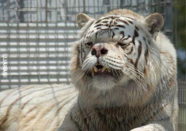 tygrys z downem