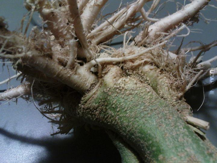 Korzeń mandragory