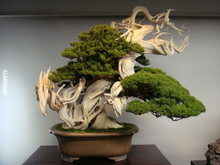 800 letnie drzewko bonsai