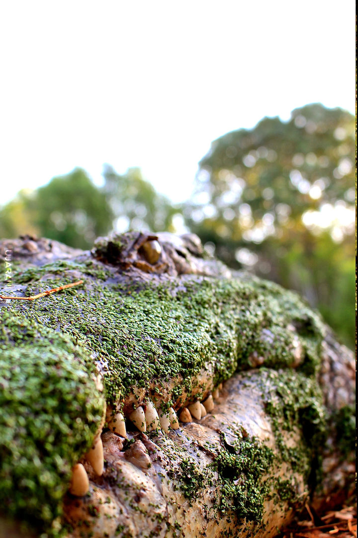 Krokodyl słonowodny
