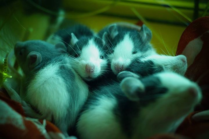 Piękne szczurki :)