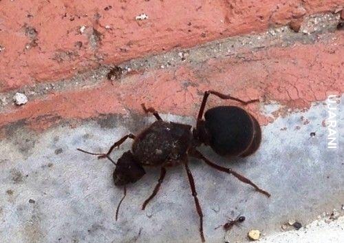 Dwie mrówki