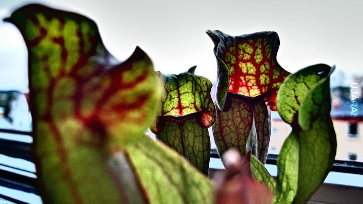 Kapturnica purpurowa (Sarracenia purpurea)