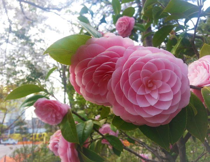 Kwiat phi