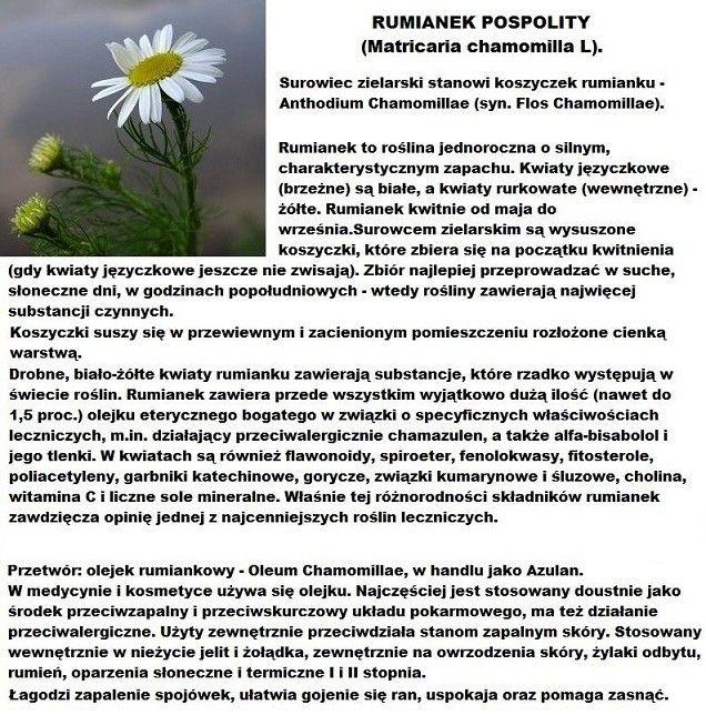 ZIOŁA I OWOCE LEŚNE #11 Rumianek Pospolity