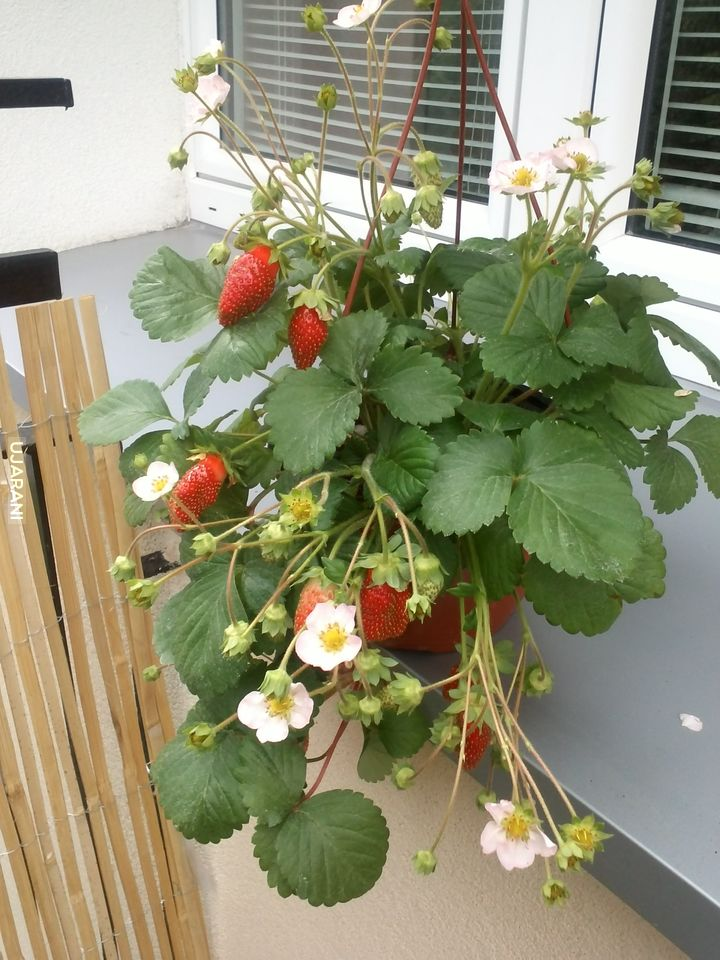 parapetowa uprawa truskawek