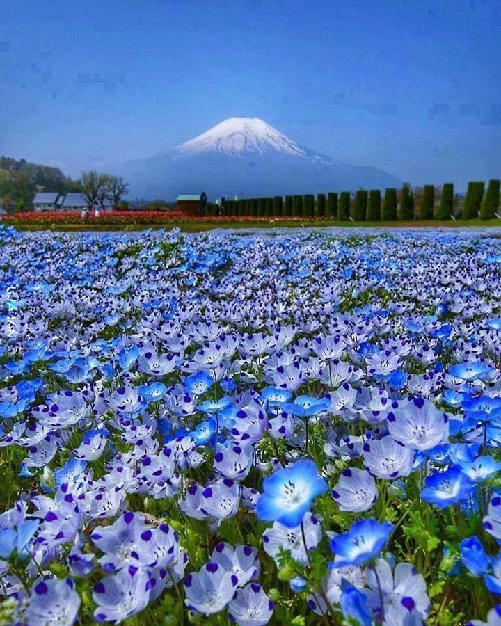 Maki pod Fuji