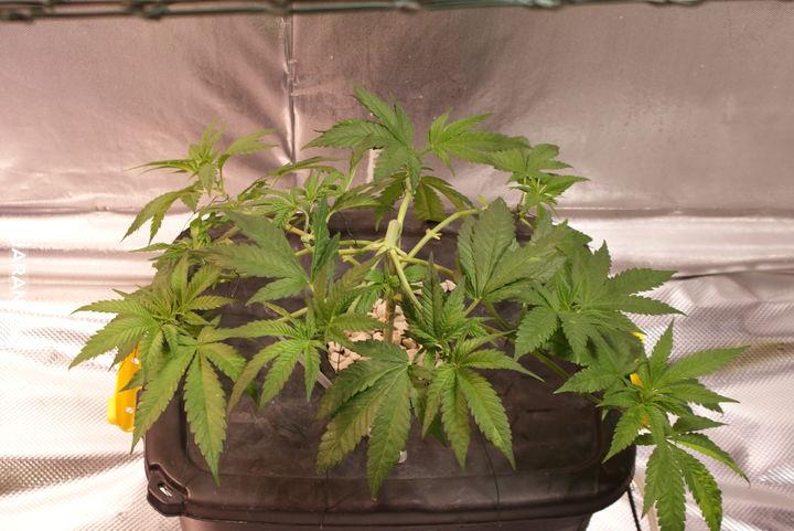 Nowy rok nowy grow, Amnesia Lemon BF, 2.5 tyg.