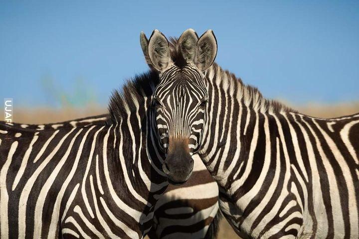 Zebro-zebra