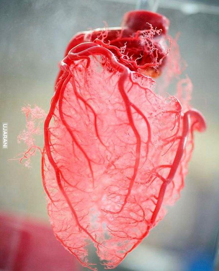 Układ krwionośny serca