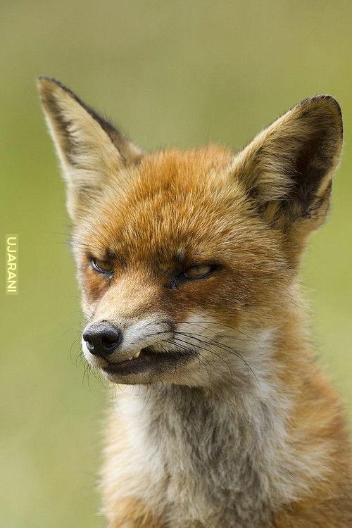 ...A ja jestem rudy lis. Ruszaj stąd, bo będę gryzł