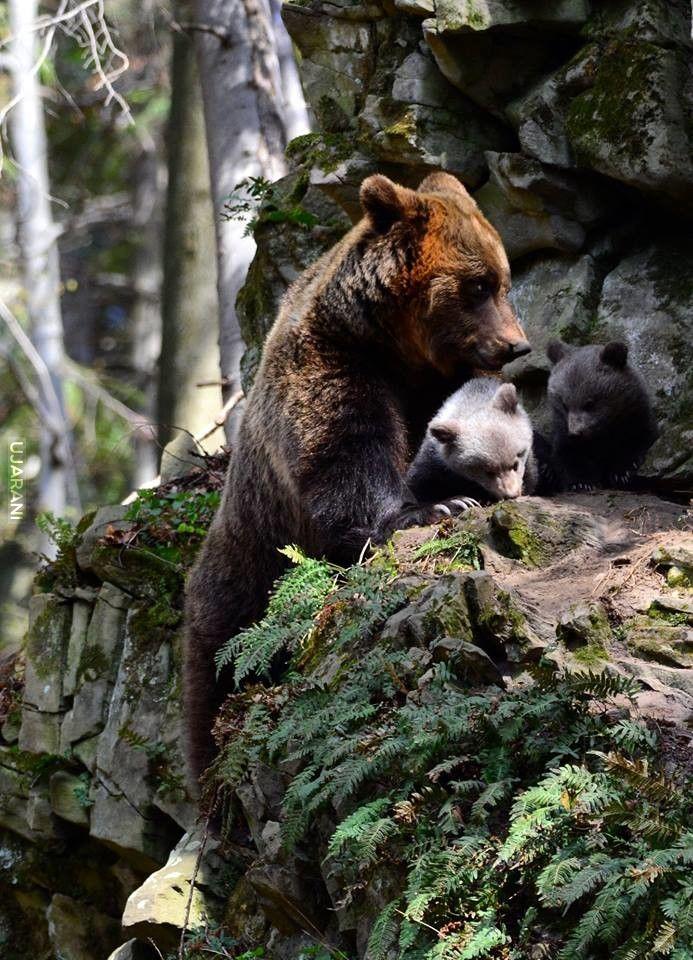 Bieszczackie Niedźwiedzie