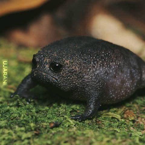 Czarna żaba deszczowa (Breviceps fuscus)