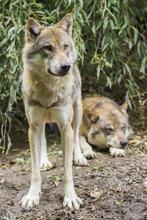 Wałbrzyskie wilki