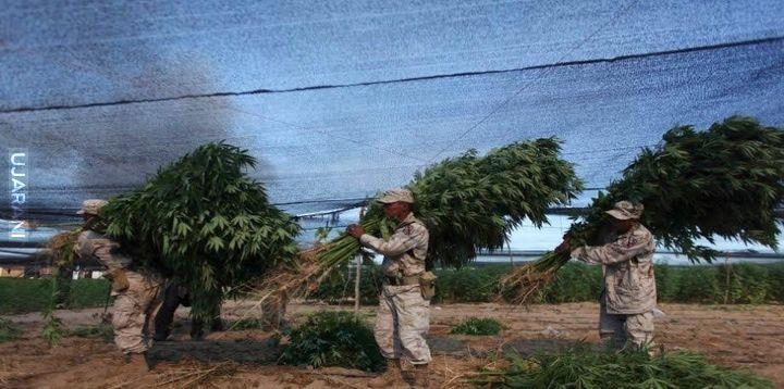 Największa plantacja Marysi