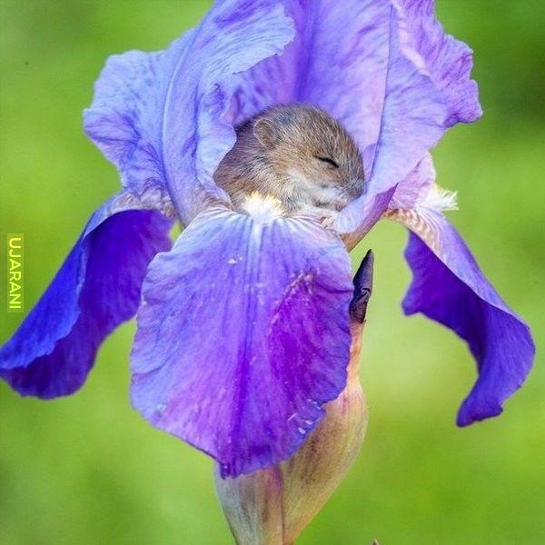W irysie mysz polna