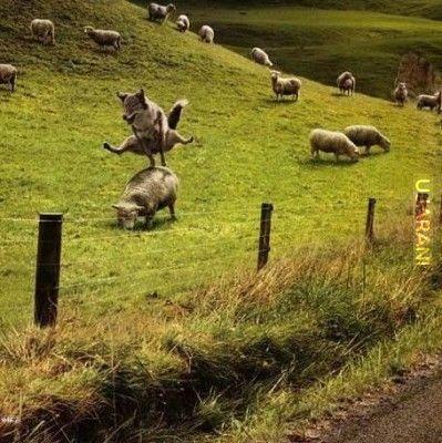 Skok przez kozła... a nie, to chyba owca ;)