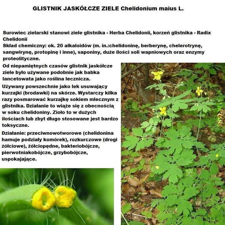 ZIOŁA I OWOCE LEŚNE #4 Glistnik jaskółcze ziele