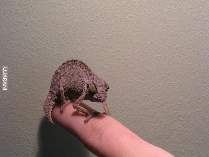 Kameleon pigmejski (R. brevicaudatus)