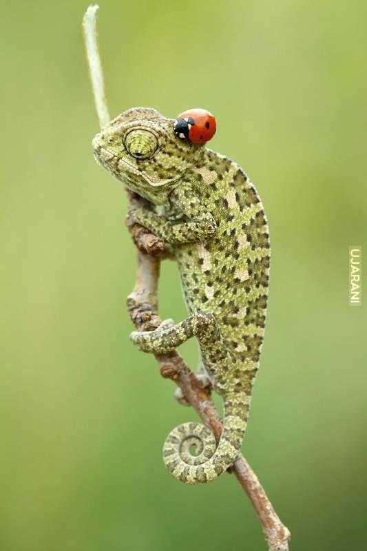 Kameleon z biedronką na głowie