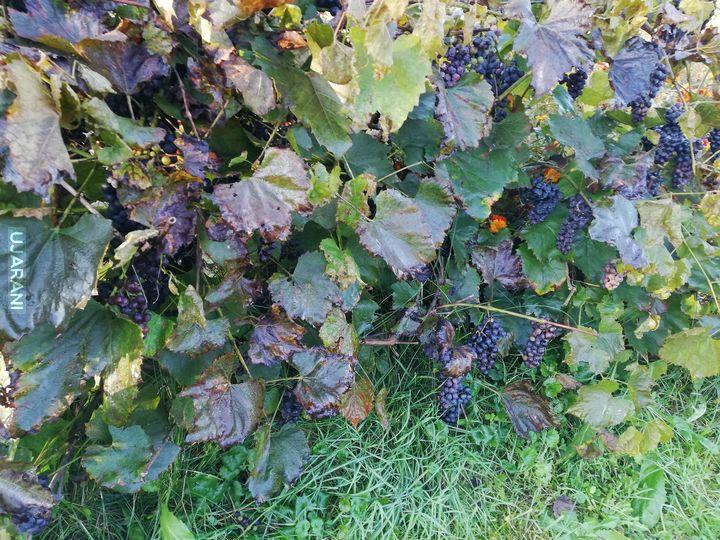 Dzisiejszy zbiór winogron