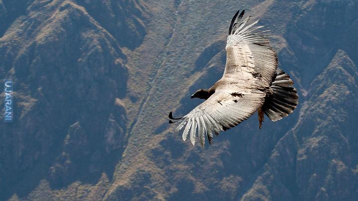 El condor pasa colca canyon