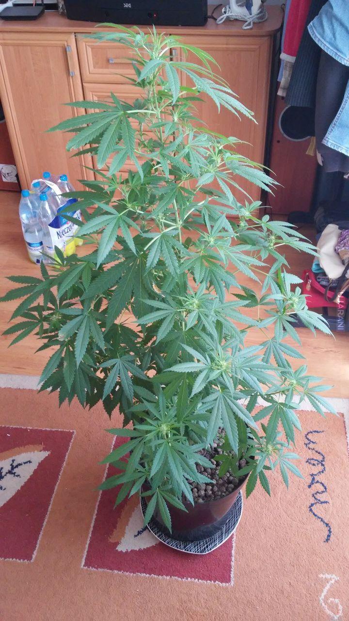 Pestka z tytki - 1szy grow