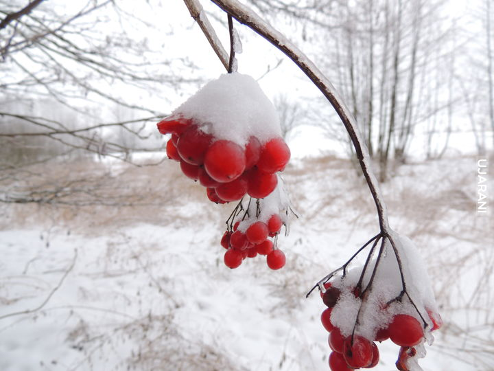 zimowa jarzębina