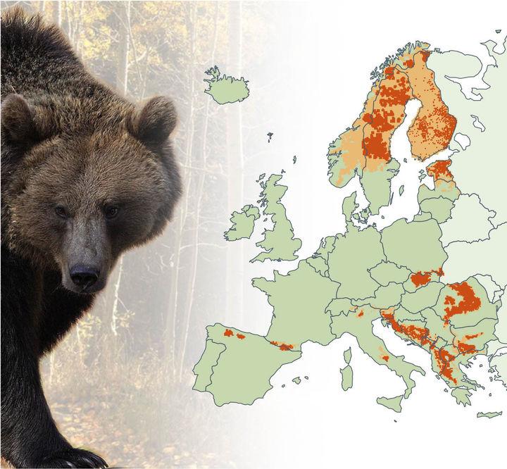 Niedźwiedzie w Europie