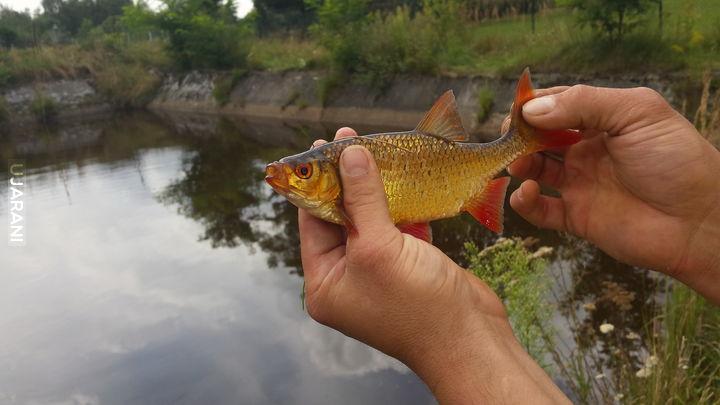 Złota rybka :)