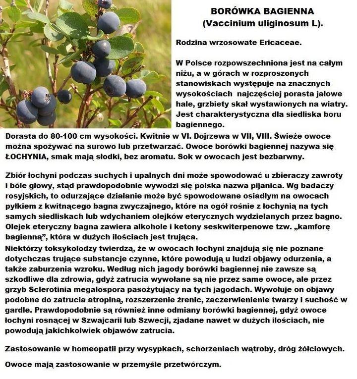 ZIOŁA I OWOCE LEŚNE #3 Borówka bagienna