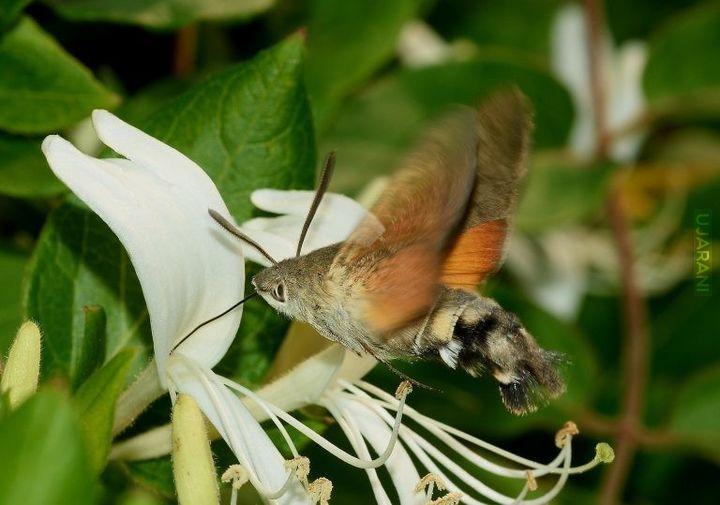Polski koliber