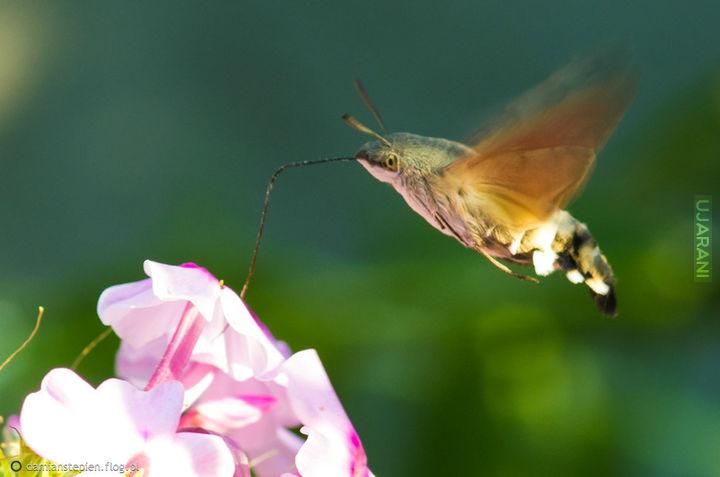 Furczak gołąbek -polski koliber