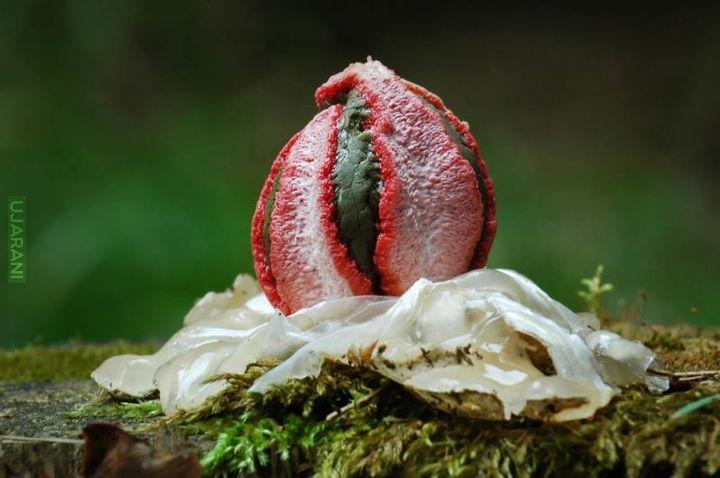 Leśna ośmiornica - okratek australijski