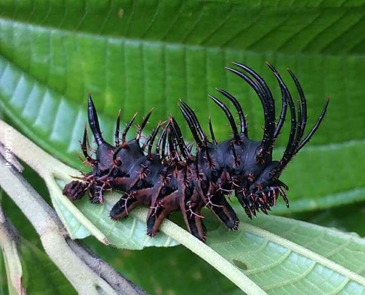 Gąsienica z gatunku Citheronia phoronea