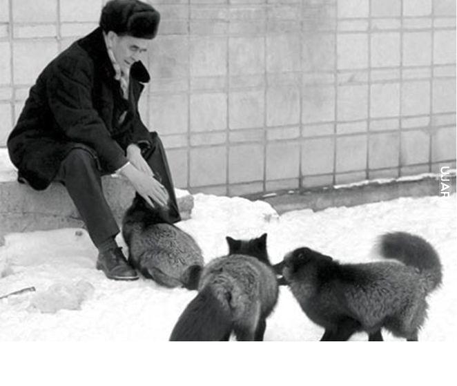 Udomowiany lis? (Eksperyment/Ewolucja)