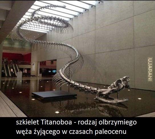 szkielet Titanoboa