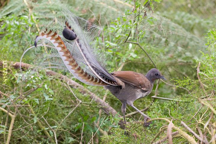 Lirogony - ptak naśladujący dźwięki ptaków a nawet ludzi