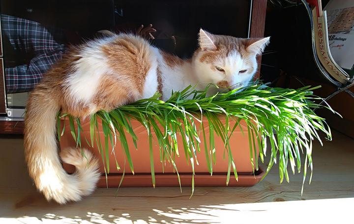 Kot wielkanocny