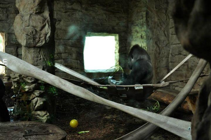 Krótka opowieść o pewnym gorylu - z Warszawskiego ZOO